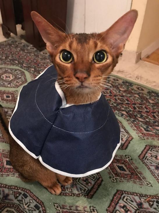 Abysinnian cat ears showed off by collar